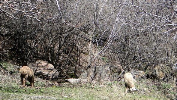 Animais para sacrifício no Mosteiro de Geghard